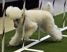 A poodle ran an obstacle course.