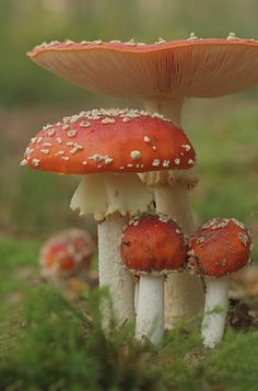 The traditional toadstool in different stages...