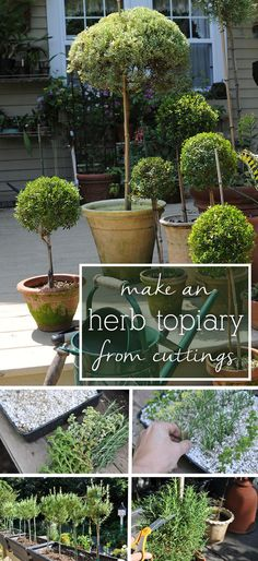 Make a beautiful herb topiary from cuttings! Making your own topiary trees from cuttings taken from the garden is one of the most rewarding projects for a gardener. Shortly before frost arrives, cuttings from lavender, rosemary, scented geranium, woody thyme or fragrant myrtle can be rooted and then trained throughout winter into a treasured topiary. www.ehow.com/...