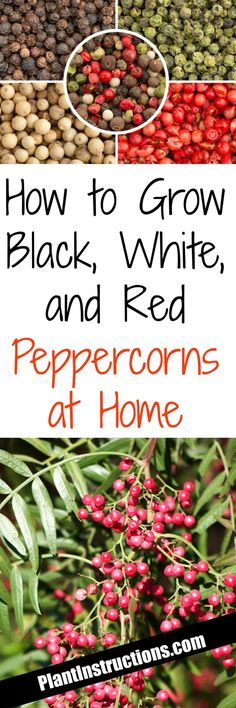 How to Grow Peppercorns