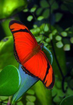 Borboleta Flambeau -Butterfly