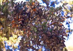 Покрывая тысячи километров, плотные стаи бабочек оживленно перемещаются из Канады в сторону юга США.   Источник: http://www.adme.ru/zhizn-nauka/20-yavlenij-prirody-v-kotorye-trudno-poverit-894560/ © AdMe.ru
