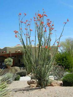 Desert Garden With Ocotillo Plants : Bright Ocotillo Outdoor Plants Desert Gard… – Landscaping Backyard Succulent Landscaping, Landscaping Plants, Front Yard Landscaping, Succulents Garden, Landscaping Ideas, Dessert Landscaping, High Desert Landscaping, Hillside Landscaping, Farmhouse Landscaping