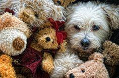 I love dogs that look like stuffed animals! Cute Puppies, Cute Dogs, Dogs And Puppies, Doggies, Funny Dogs, Funny Boxer, Amor Animal, Mundo Animal, Baby Animals