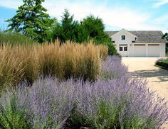 Ornamental grass paired with perovskia. don't be scared to mass plants that do well. large blocks and drifts create drama, and catch the eye.