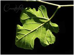 Kristen Olivares-Fine Art Photography- Leaf Veins