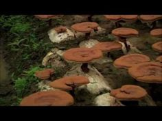 Ganoderma, the ingredient that's in Organo Gold Healthy Coffee. It's super interesting. Cancer Treatment, Healthy Alternatives, Health Benefits, Stuffed Mushrooms, Herbs, Nature, Holton Buggs, Standing Ovation, Super Foods