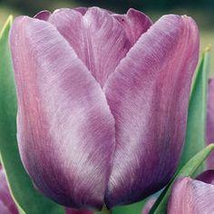 Tulip Blue Ribbon - Parkers Wholesale