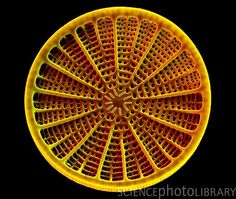 Coloured scanning electron micrograph (SEM) of a diatom. The diatoms are a group of photosynthetic, single-celled algae containing about species. They form an important part of the plankton at the base of the marine and freshwater food chains. Plant Cell Structure, Microscopic Algae, Microscopic Photography, Scanning Electron Micrograph, Natural Structures, Natural Forms, Macro And Micro, Cell Wall, Science Photos