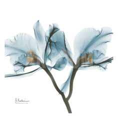 Orchids in Blue Art Print by Albert Koetsier at Art.com