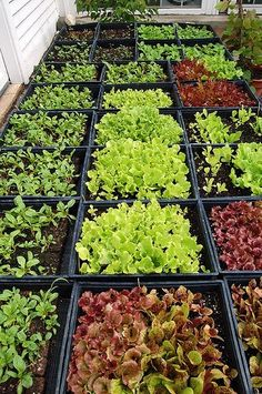 How to grow lettuce.