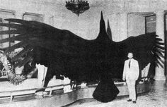 Full sized model of Argentavis magnificens - The largest discovered flying bird, lived 6 million years ago, wingspan of 7 meters