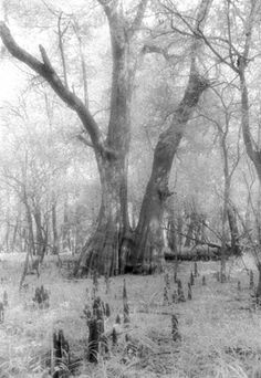 """Cypress with Knees"", Photo by Harriet Blum. I shot this photo at Cat Island National Wildlife Refuge in St. Francisville, LA.  I used black and white infrared film.  There are incredible cypress trees in this reserve."