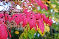 ニシキギ(錦木:Euonymus alatus) by Masanori Shimizu on 500px
