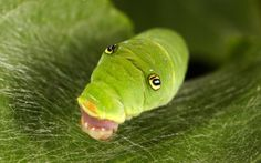 casulo lagarta - Pesquisa do Google