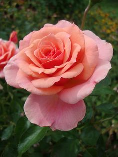 Photo of Rose (Rosa 'Tournament of Roses') uploaded by Paul2032