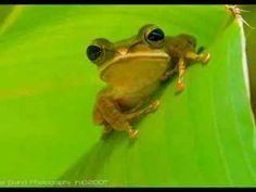 The sounds of el coqui...    http://www.youtube.com/watch?v=nnIKeh7V3DQ=related