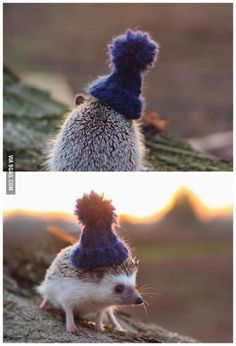 This is a hedgehog in a beanie. You're welcome. Carry on.