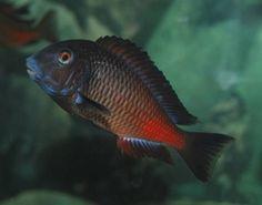 Tropheus Red Kipimbi