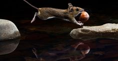"""O fotógrafo Carsten Braun, da Alemanha, registrou essa imagem de um roedor carregando uma noz. A foto, chamada de """"Yellow-necked mouse"""" (ou rato de pescoço amarelo, em tradução livre), é uma das 50 melhores imagens, que retratam a vida selvagem em diversas partes do mundo, escolhidas pelo júri no Museu de História Natural, em Londres"""