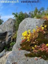 rantakivien-keltamaksaruohot