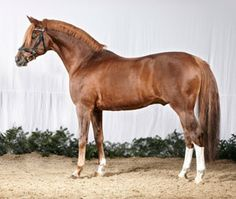 The LEGEND: Dressman I, Davidoff's famous sire, at age 23 in Germany
