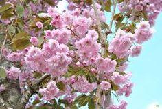 Afbeeldingsresultaat voor prunus boom