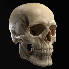 Skull for reference Skull Reference, Human Reference, Anatomy Reference, Pose Reference, Face Anatomy, Anatomy Drawing, Anatomy Art, Gesture Drawing, Human Skull Anatomy