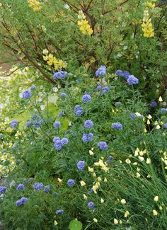 Gilia capitata Blue Thimble Flower