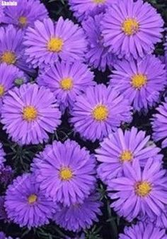 100pcs/ bag Rare Chinese Aster Seeds Indoor Colorful Bonsai Potted Chrysanthemum Flower Plant Easy to Grow