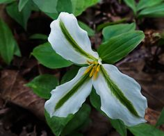Trillium ..  veriegated May 10 2015