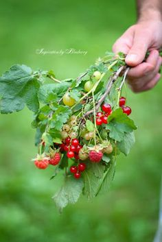 I want to grow all three of these; Raspberry, Currant, Gooseberry.