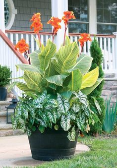 Best Summer Bulbs for Containers: Canna lilies are tropical plants with big, shiny leaves and brightly-colored, orchid-like flowers that attract hummingbirds. Cannas are excellent container plants. You can give them their own container, or combine them with other annuals or summer bulbs. With their impressive size and decorative foliage, cannas can add a tropical look to patios, decks, entryways, water gardens and pool areas.