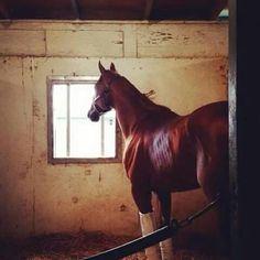 Dortmund, safe and sound in his stall at Santa Anita. See ya this summer, big guy. Horse Racing, Animals And Pets, Horses, Guy, Santa, Summer, Dortmund, Pets, Summer Time
