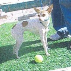 HAYDEE is an adoptable Chihuahua Dog in El Paso, TX. HAYDEE is a mixed Chihuahua and Italian Greyhound small full grown dog 1 1/2 years old given up�by a woman who had to take on care of her minor gra...