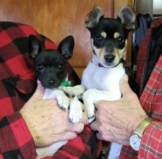 A couple of Rat Terrier pups. Their ears POP! After a few months & stay upright (usually!)