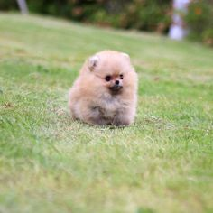 Orange, Honey is a stunner. Funny cute little player loves the ladies and the ladies loves her. Teacup Puppy Breeds, Pomeranian Puppy For Sale, Chihuahua Puppies For Sale, Teacup Puppies, Yorkie Puppy, Tiny Puppies For Sale, Poodle Puppies, Micro Teacup Pomeranian, Teacup Yorkie