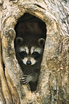 Raccoon by Konrad Wothe