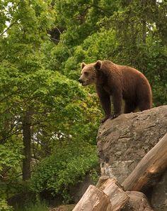 A bear, Ursus arctos in Skansen, Stockholm.