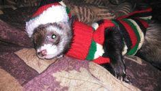 Love me lil ferret Rajha!