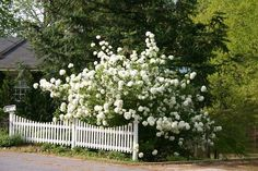 Snowball Viburnum--This makes a beautiful garden bush, but what I like about it most is the way it absolutely sparkles in mixed bouquets.Google Image Result for http://www.ecoterralandscape.com/images/viburnumNL.jpg