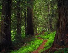 Idaho, north central, Forest Path through old growth Western Red Cedar Trees in the Clearwater National Forest