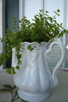 An old white Ironstone coffee pot that had been damaged found a new life as a plant container.