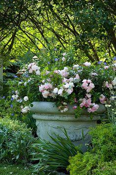 Flower Carpet Appleblossom rose in pot | Flickr - Photo Sharing!
