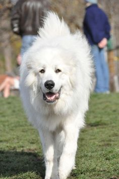 My Great Pyrenees Guard Dog Breeds, Animals And Pets, Cute Animals, Great Pyrenees Dog, Large Dog Breeds, White Dogs, Mountain Dogs, Working Dogs, Dog Pictures