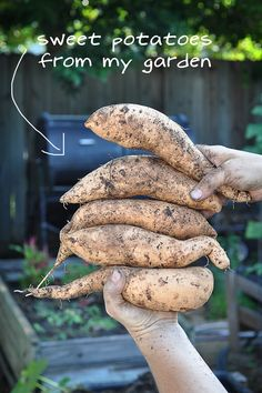 havested sweet potatoes Saturday! yummy! check out a new way to garden on link