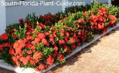 Dwarf Ixora and Maui Ixora Ixora chinensis and Ixora maui Dwarf ixora and maui ixora, the smaller varieties of this lushly flowering shrub, have taken South Florida by storm. Gorgeous flowers most of the year, easy care, compact size - whats not to like?