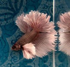 #56 Thai Import Fancy White Red Copper Male Dumbo Ears Halfmoon Betta Live Fish