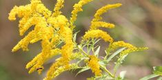 Goldenrods for the Garden: Learn more about these increasingly popular flowers and why they might work well in your garden! Herbal Tinctures, Herbalism, Essential Oil For Liver, Yellow Flowers, Wild Flowers, Snow In Summer, Late Summer, Types Of Herbs, Popular Flowers