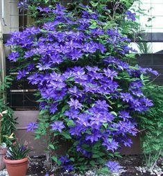 Akár a ház falára is felfuttathatod ezt a növényt, nem igényel sok törődést, de káprázatos! - Bidista.com - A TippLista! Wonderful Flowers, Balcony Garden, Blue Flowers, Home Deco, Gardening Tips, Garden Design, Pergola, Beauty Hacks, Home And Garden
